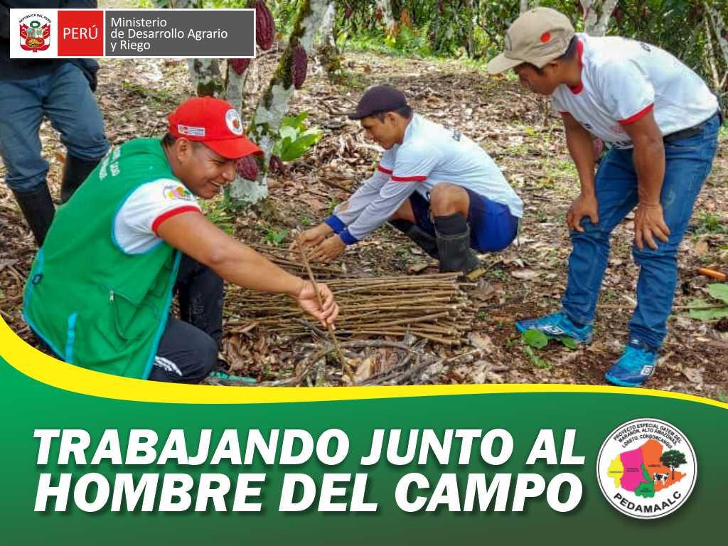 PROYECTO CACAO CENEPA CONDORCANQUI CUMPLIMOS LA META DE INJERTAR LAS PRIMERAS 230 HECTÁREAS