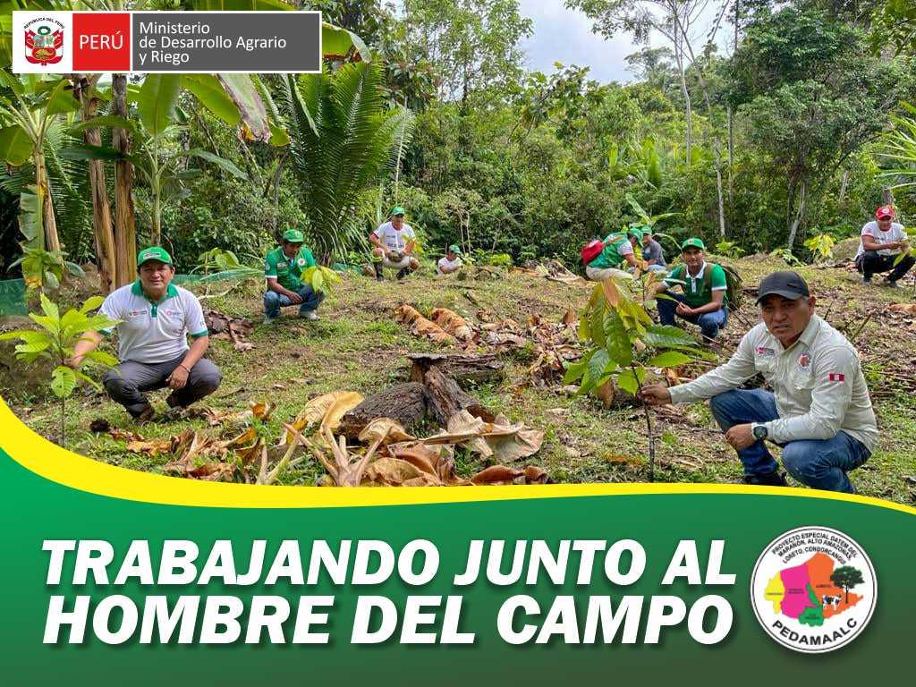 PROYECTO CACAO CENEPA MAMAYAQUE PRESENTA EN LA ACTUALIDAD 600 HECTÁREAS INSTALADAS EN CAMPO DEFINITIVO EN PROCESO DE INJERTACIÓN