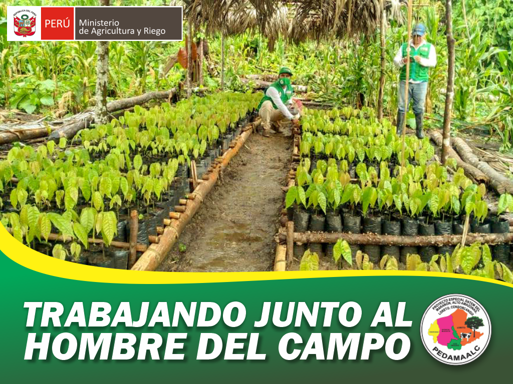 PROYECTO CACAO CENEPA EN CONDORCANQUI REGIÓN AMAZONAS COMENZÓ TRABAJOS DE INSTALACIÓN DE PARCELAS DEMOSTRATIVAS FAMILIARES