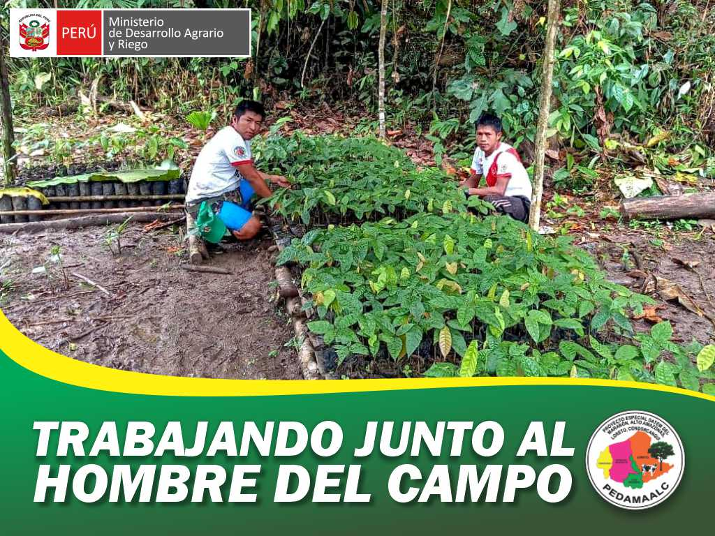 PROYECTO CACAO CENEPA EN NIEVA CONDORCANQUI PRESENTA SIGNIFICATIVO AVANCE EN CAMPO DEFINITIVO