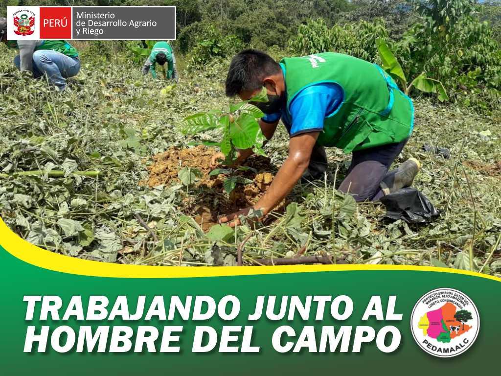 PEDAMAALC DIO INICIO TRANSPLANTE DE PLANTONES DE CACAO PARA 1000 HECTÁREAS EN COMUNIDADES AWAJÚN DE LA REGIÓN AMAZONAS
