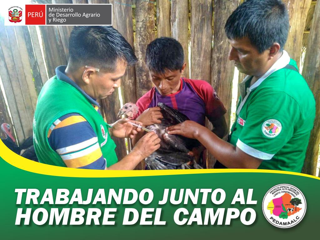 SANIDAD ANIMAL EN COMUNIDADES AWAJÚN DEL DISTRITO DE NIEVA EN CONDORCANQUI